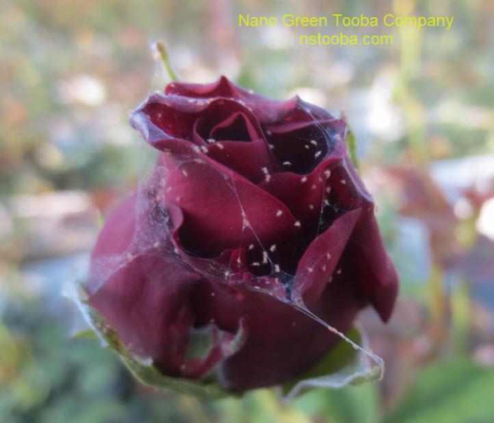 گل رز آلوده به کنه تارتن دولکه ای