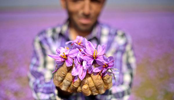 افزایش شدید عرضه زعفران تقلبی در بازار